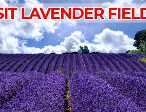 Visiter les champs de lavande de Provence